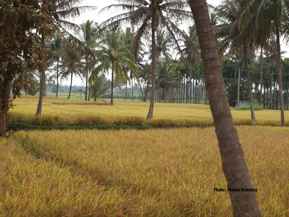Rice fields soon to be harvested